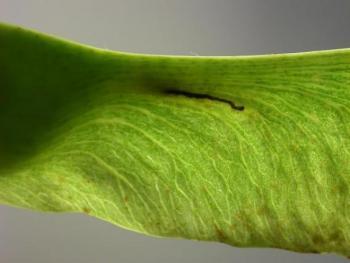 Ectoedemia sericopeza Noorse-esdoornvruchtmineermot