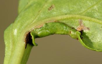 Scrobipalpa ocellatella - Bietzandvleugeltje