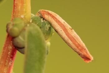 Coleophora deviella - Schorrenkruidkokermot