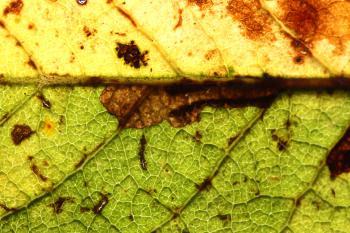 Ectoedemia intimella - Wilgennerfmineermot