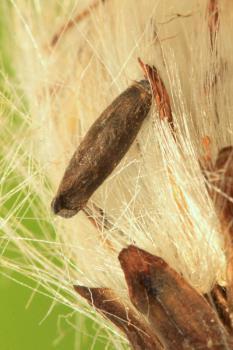 Coleophora asteris - Asterkokermot