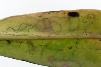 Bucculatrix maritima - Zeeasterooglapmot