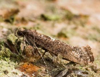 Acrolepiopsis assectella - Preimot