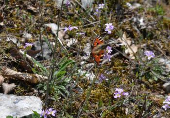 Aglais urticae - Furfooz ~ Parc Naturelle de Furfooz (Namen) 07-04-2018 ©Steve Wullaert