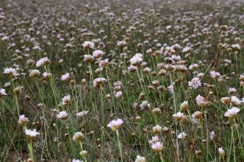 Aremeria maritima subsp. halleri - Trooz ~ La Rochette (Namen)  22-09-2018 ©Philippe Vanmeerbeeck