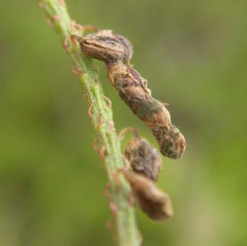 Coleophora trifolii - Lichte metaalkokermot