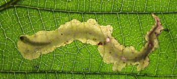 Coptotriche marginea - Gele bramenvlekmot