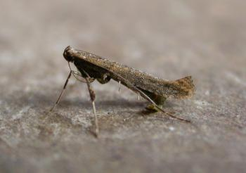 Caloptilia falconipennella - Variabele elzensteltmot