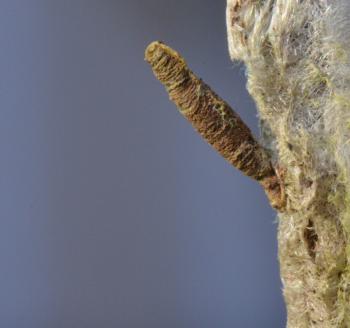 Coleophora ochripennella - Geelbruine kokermot