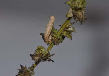 Coleophora adspersella - Witsprietmeldekokermot