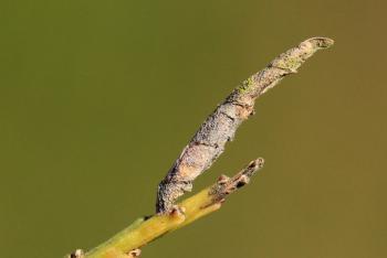 Coleophora calycotomella - Bezembremkokermot