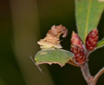 Coleophora cornutella - Lichtbruine berkkokermot