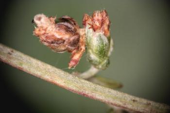 Coleophora granulatella - Averuitkokermot