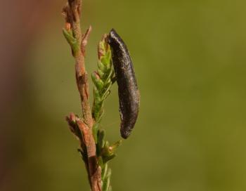 Coleophora pyrrhulipennella - Gestreepte heidekokermot