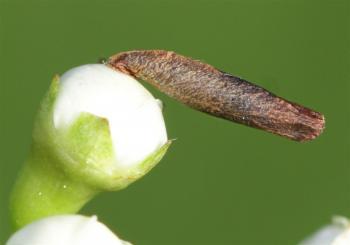 Coleophora spinella - Geelkopprunuskokermot