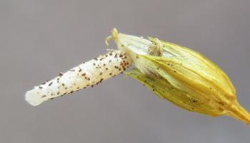 Coleophora striatipennella - Muurkokermot