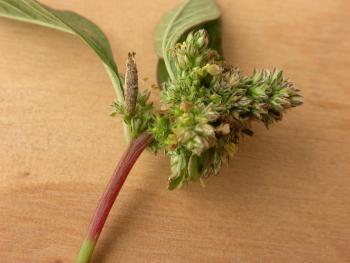 Coleophora versurella - Bleekgestreepte meldekokermot