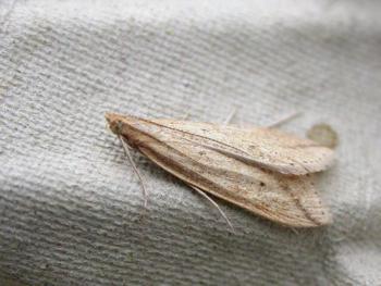 Donacaula forficella - Liesgrassnuitmot