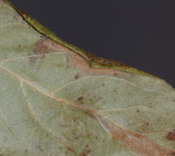 Phyllonorycter mespilella - Perenvouwmot