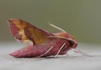 Deilephila porcellus - Koksijde ~ Schipgatduinen - 1000-soortendag - West-Vlaanderen 18-05-2018 ©Steve Wullaert