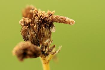 Coleophora argentula - Duizendbladkokermot