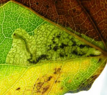 Ectoedemia argyropeza Espenbladsteelmineermot