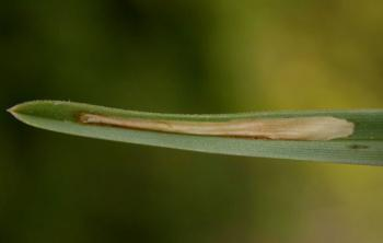 Elachista adscitella - Ruwesmelemineermot