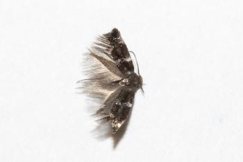 Elachista differens - Zeggemineermot