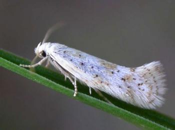 Elachista pollinariella - Gepuncteerde grasmineermot