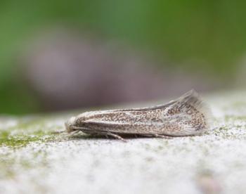 Elachista rufocinerea - Rossige grasmineermot