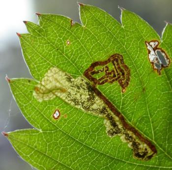 Ectoedemia arcuatella Aardbeiblaasmijnmot