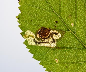 Ectoedemia minimella - Rocherath ~ Vallei van de Holzwarche (Luik) 19-08-2017 ©Steve Wullaert