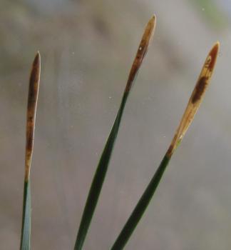 Exoteleia dodecella - Dennenlotmot