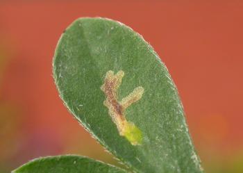Micrurapteryx kollariella - Bremsteltmot
