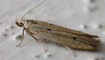 Monochroa divisella - Donkere boegsprietmot