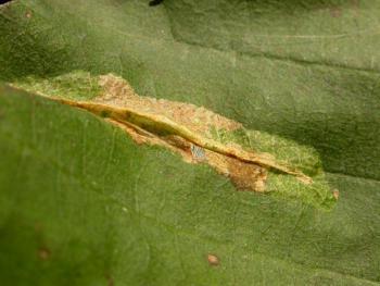 Phyllonorycter stettinensis - Elzenblaasmijnmot