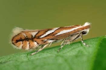 Phyllonorycter blancardella - Appelvouwmot