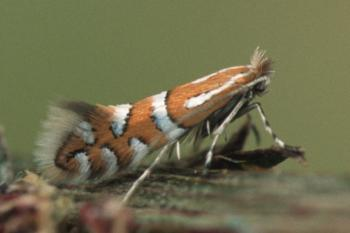 Phyllonorycter insignitella - Klavervouwmot