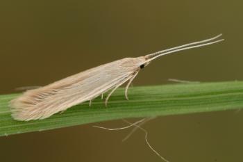 Coleophora sylvaticella - Veldbieskokermot