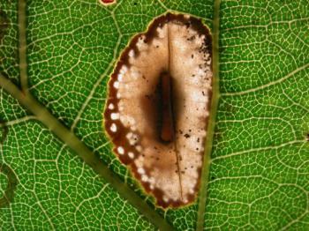 Phyllonorycter harisella - Witte eikenvouwmot