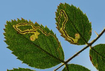 Stigmella centifoliella - Gelijnde rozenmineermot