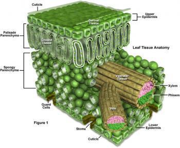 © Kvhs.nbed.nb.ca >>leaf structure<<