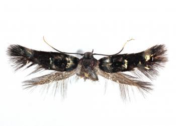 Elachista tengstromi - Ruige veldbiesmineermot