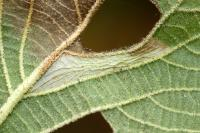 Phyllonorycter lantanella - Sneeuwbalvouwmot