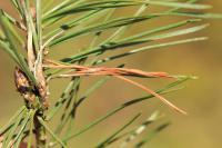 Ocnerostoma friesei - Wit naaldkwastje