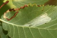 Phyllonorycter schreberella - Fraaie iepenvouwmot
