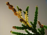 Argyresthia thuiella - Thujamineermot