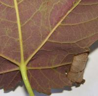 Caloptilia rufipennella - Donkere esdoornsteltmot