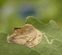 Caloptilia stigmatella - Wilgensteltmot