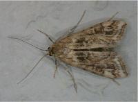 Cataclysta lemnata - Kroosvlindertje
